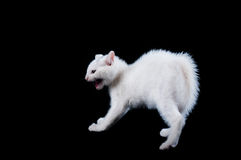White Kitten Hissing with Fur Up Stock Photography