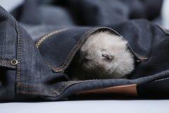 White kitten in jeans pocket. British Shorthair kitten hiding sitting in a blue jeans pocket. Cute face Stock Images