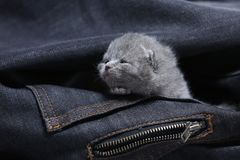 White kitten in jeans pocket. British Shorthair kitten hiding sitting in a blue jeans pocket. Cute face Royalty Free Stock Image