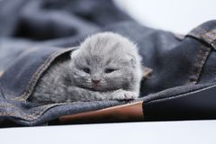 White kitten in jeans pocket. British Shorthair kitten hiding sitting in a blue jeans pocket. Cute face Stock Photography