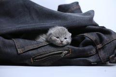 White kitten in jeans pocket. British Shorthair kitten hiding sitting in a blue jeans pocket. Cute face Stock Photo