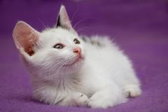 White Kitten Looking Royalty Free Stock Photography