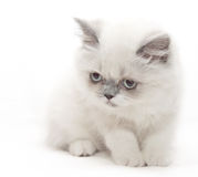White kitten is looking down Royalty Free Stock Image