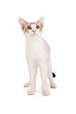 White kitten looking up Royalty Free Stock Image