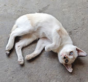 A white kitten lying on the floor with curve shape style Stock Photos