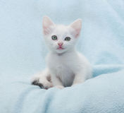 White kitten made ��a mocking grimace Stock Image
