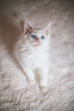 White Kitten Maine Coon Royalty Free Stock Images