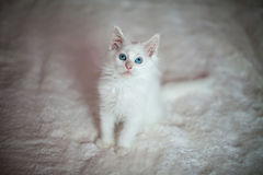 White kitten Maine Coon sitting Stock Images