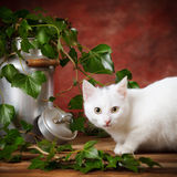 White kitten beside milk can Royalty Free Stock Photos