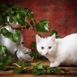 White kitten beside milk can Royalty Free Stock Photos