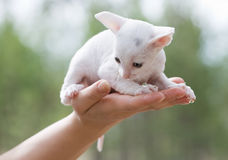 White kitten on palm Stock Photo