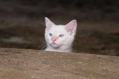 White kitten peeking over step Royalty Free Stock Photo
