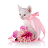 White kitten with a pink tape and a flower of a peony. Royalty Free Stock Photo