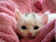 White Kitten on Pink Throw Royalty Free Stock Image