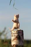 White kitten play in stump. White kitten play with grass in stump Stock Photos