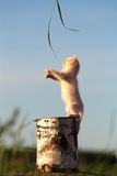 White kitten play in stump. White kitten play with grass in stump Royalty Free Stock Photography