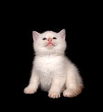 White kitten playing on black background Stock Photography