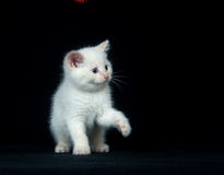 White kitten playing on black background Royalty Free Stock Image