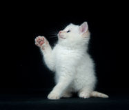 White kitten playing on black background Stock Images