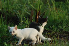 White kitten Stock Image