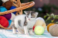 White kitten plays  balls of yarn Stock Image