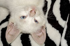 White Kitten Portrait Stock Photography