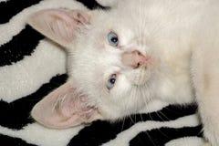White Kitten Portrait Stock Image