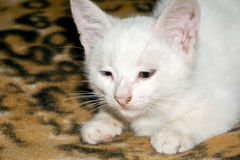 White Kitten Portrait Stock Photos