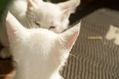 White Kitten Portrait Royalty Free Stock Photos