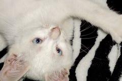 White Kitten Portrait Royalty Free Stock Images