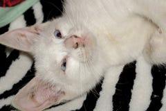 White Kitten Portrait Royalty Free Stock Photography