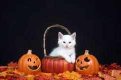 White kitten in pumpkin basket with Jack o lanterns Stock Image