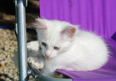 White Kitten on Purple Fabric Chair Stock Images