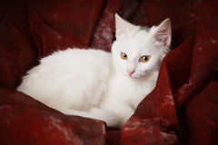 White kitten in red fabric Royalty Free Stock Images