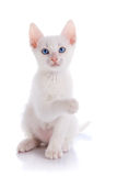 The white kitten sits with the raised paw. Royalty Free Stock Images