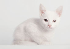 White kitten sitting Stock Images