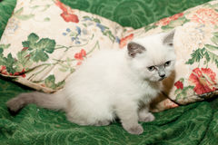 White kitten Royalty Free Stock Photos