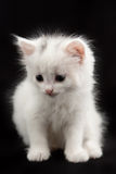 White kitten sitting on a black background Stock Images