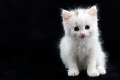 White kitten sitting on a black background Royalty Free Stock Photography