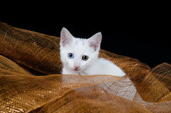 White Kitten Sitting in Holiday Mesh Royalty Free Stock Images