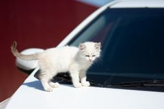 White wild city cat with fluffy fur lying on the hood of a white car, warming in the autumn sun and falling asleep stock images