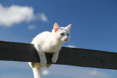 White kitten in sky. White kitten on a fence in sky Royalty Free Stock Photo