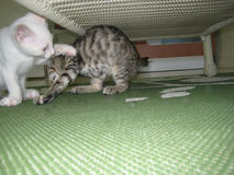 A White Kitten and a Tabby Kitten Playing Under a Table Royalty Free Stock Image