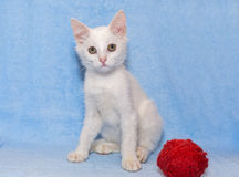 White kitten with a toy Royalty Free Stock Photo