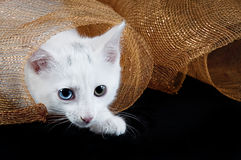 White Kitten Under Holiday Mesh Stock Photos