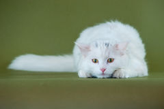 White kitten on the watch. Little white longhaired kitten with yellow eyes on the watch, green backdrop, studio shot, horizontal Royalty Free Stock Image