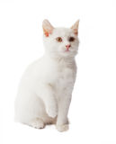 White kitten on white Royalty Free Stock Photo