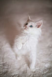 White Kitten With Paw Raised Stock Photo