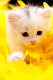 White kitten with a yellow background Royalty Free Stock Photo