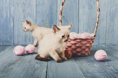 White kittens at blue wood Royalty Free Stock Photography